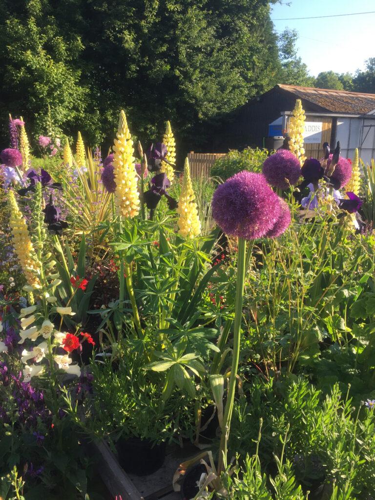 Helperby Nursery - Alliums, Foxgloves and Iris